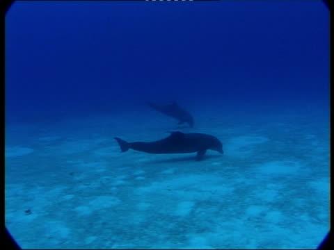 ms, two dolphins searching for food at ocean floor, atlantic ocean, bahamas - 背びれ点の映像素材/bロール