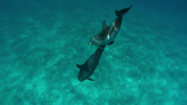 vidéos et rushes de ms td two dolphins swimming closely  audio / florida, united states - audio disponible en ligne