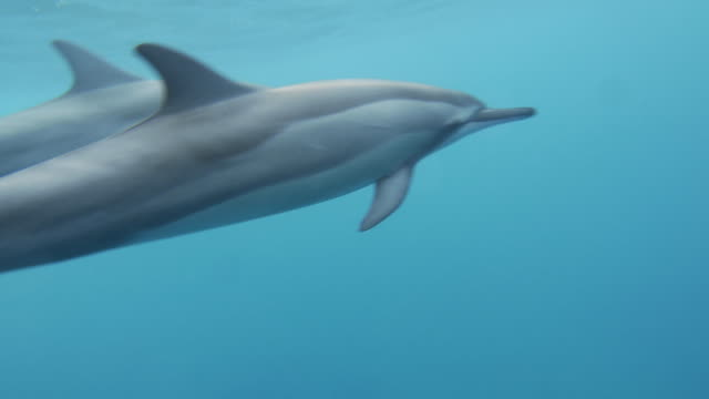 two dolphins swimming in the ocean - dolphin stock videos & royalty-free footage