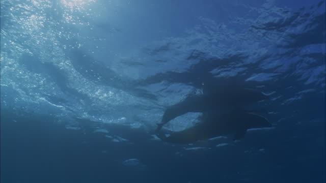 vidéos et rushes de slo mo ws la pan two dolphins swimming / moorea, tahiti, french polynesia - moorea