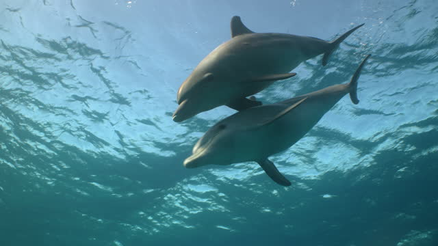 two dolphins swimming towards camera in red sea - red sea stock videos & royalty-free footage