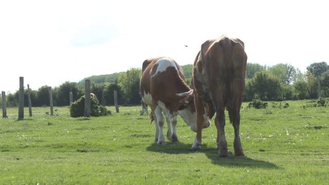 Zwei Hauskühen kämpfen mit ihren Kornen
