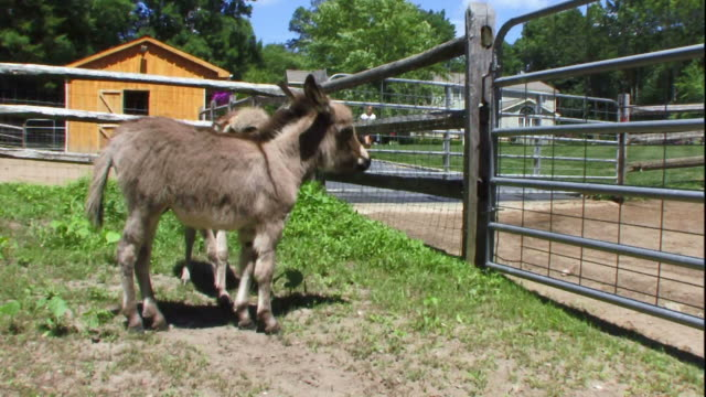two donkey foals play in a corral. - esel stock-videos und b-roll-filmmaterial