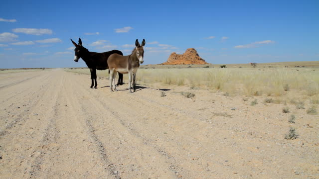 ws two donkeys in namibia - donkey stock videos & royalty-free footage