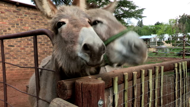 two donkeys on a farm - donkey stock videos & royalty-free footage