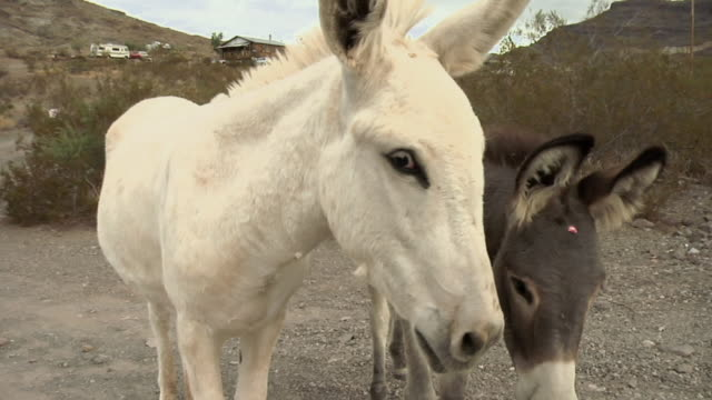 ecu, two donkeys (equus asinus) sniffing camera, oatman, arizona, usa - donkey stock videos & royalty-free footage