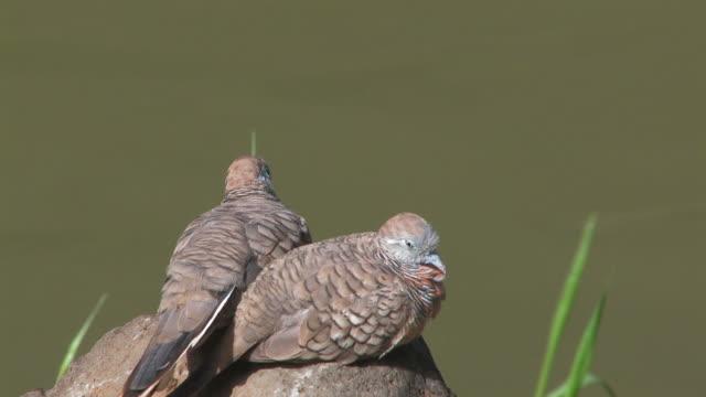 zwei doves-hd-bis 30 - tierkörper stock-videos und b-roll-filmmaterial