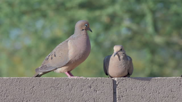 two doves on a wall - two animals stock videos & royalty-free footage