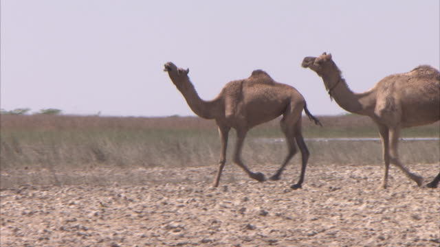 Two Dromedary Camels walking through the mud next to a waterhole in the desert