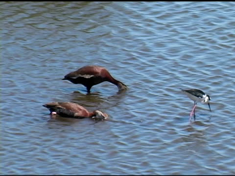 two ducks feeding nest to a stilt - small group of animals stock videos & royalty-free footage
