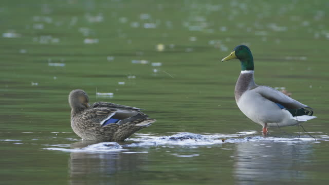 two ducks in a lake - pond stock videos & royalty-free footage