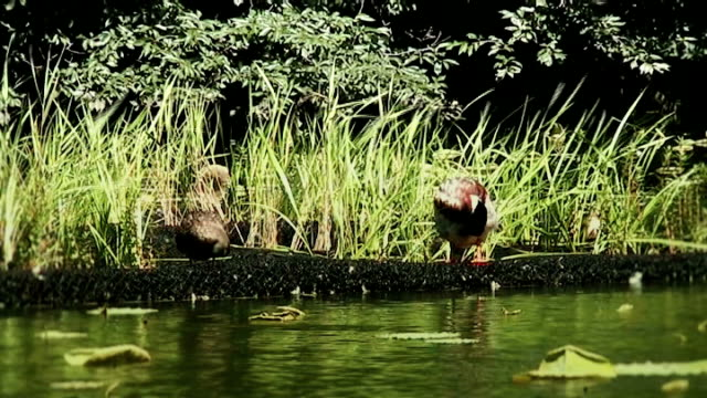 two ducks on a lotus pond (anamorphic 16:9) - anamorphic stock videos & royalty-free footage
