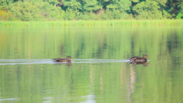 Deux canards sur le lac 4 k