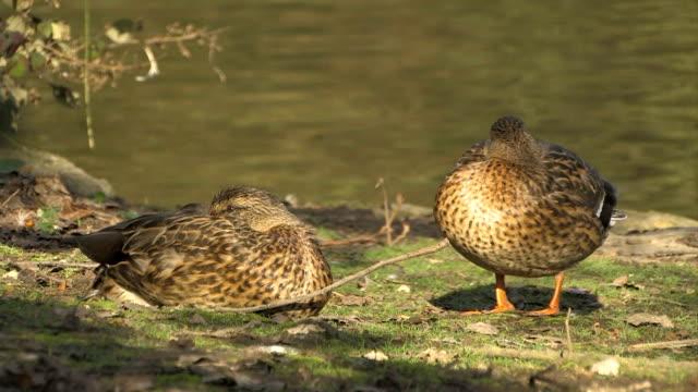 vidéos et rushes de deux canards - canard oiseau aquatique