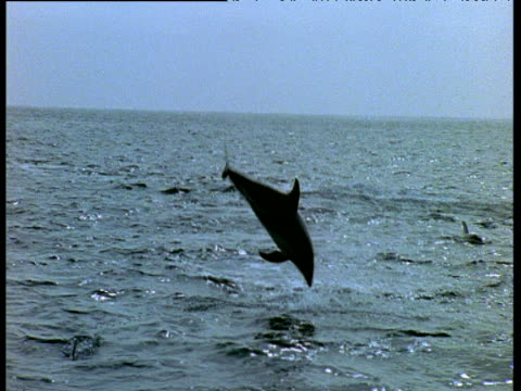 two dusky dolphins leap out of sea and somersault - schwarzdelfin stock-videos und b-roll-filmmaterial
