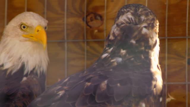 two eagles in cage, rack focus - gabbia per gli uccelli video stock e b–roll