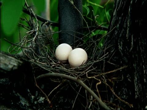 vidéos et rushes de mcu two eggs in nest, botswana - brindille