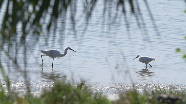 two egret birds walking towards each other - egret stock videos and b-roll footage
