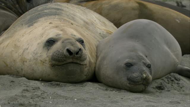 stockvideo's en b-roll-footage met cu, two elephant seals lying on ground, south georgia island - atlantische eilanden