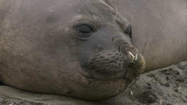 stockvideo's en b-roll-footage met ecu, pan, two elephant seals lying on ground, south georgia island - atlantische eilanden