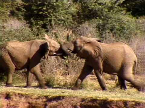 two elephants having a dispute - herbivorous stock videos & royalty-free footage