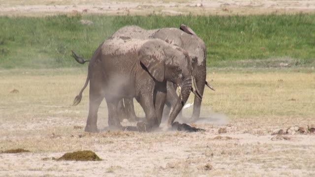 WS Two elephants having dust shower at amboseli national park AUDIO / Amboseli, Rift Valley, Kenya
