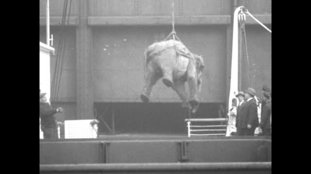 two elephants in street attendants on ground and atop animals truck with bars on side passes in bg / elephant with front legs chained being hoisted... - chain stock videos & royalty-free footage