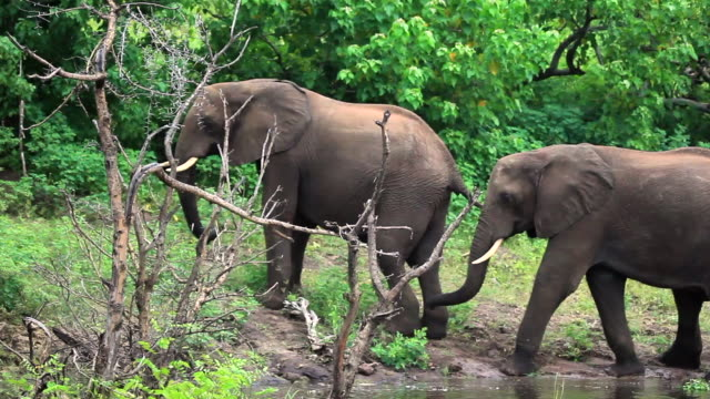 two elephants one behind the other at a waterhole - altri temi video stock e b–roll