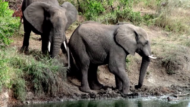two elephants - sabie stock videos and b-roll footage