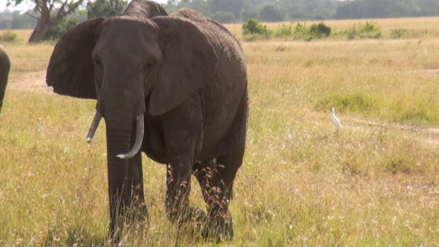 ms ts two elephants walking through african savanna audio / samburu, rift valley, kenya - komplett stock-videos und b-roll-filmmaterial