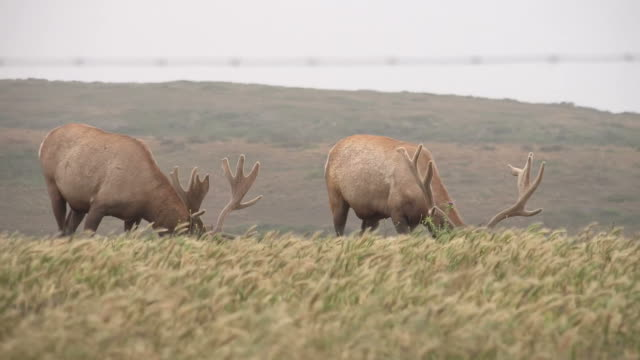 two elk with massive antlers grazing in field - wapiti stock videos & royalty-free footage