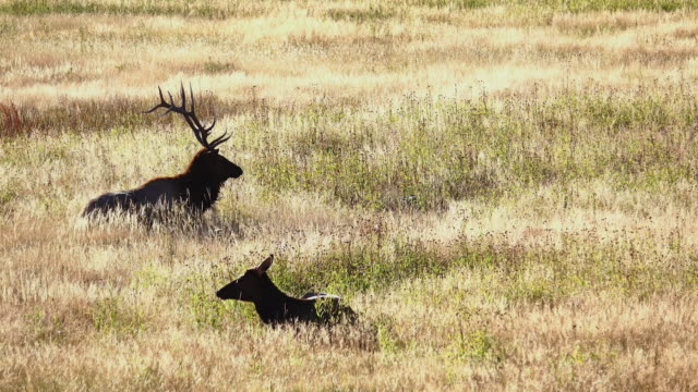 two elks just sitting in the meadow in yellow stone park - yellowstone national park stock videos & royalty-free footage
