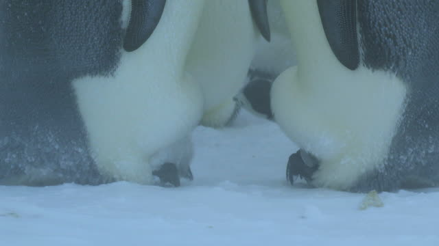 cu two emperor penguin chicks profile on parents feet in blizzard / dumont d'urville station, adelie land, antarctica - young bird stock videos & royalty-free footage