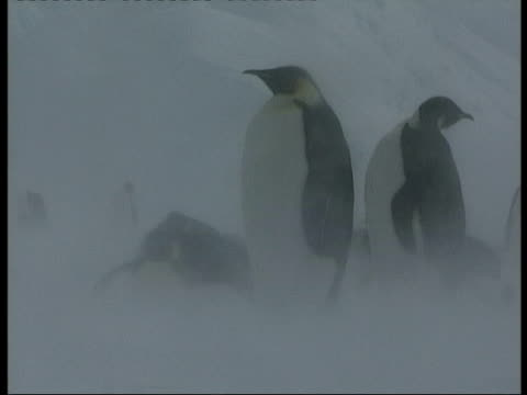 vidéos et rushes de ms two emperor penguins standing in blizzard, preening, others sliding along on their bellies in background, antarctica - se lisser les plumes