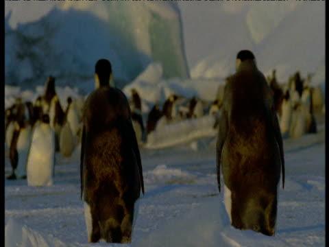 two emperor penguins walk towards colony, terra nova, antarctica - emperor stock videos and b-roll footage