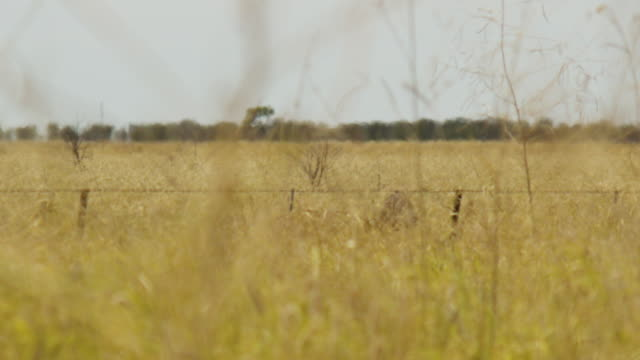 Two emu on tall brown grass