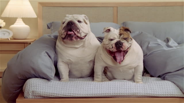 zo, ms, two english bulldogs sitting on bed  - två djur bildbanksvideor och videomaterial från bakom kulisserna