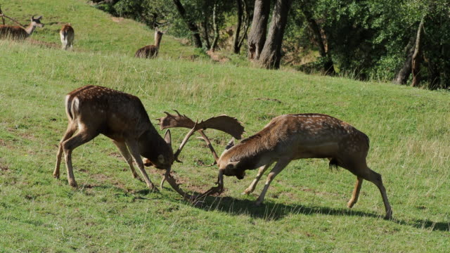 two fallow deer fighting with their horns, in autumn. dama dama. - deer stock videos & royalty-free footage
