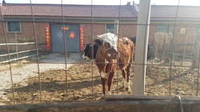 vidéos et rushes de deux bovins d'élevage attachés à une participation - accouplement cheval