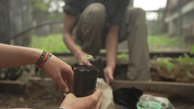 two farm volunteers planting cacao tree saplings - planting stock videos & royalty-free footage
