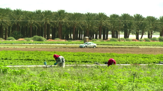 vídeos de stock, filmes e b-roll de ws two farm workers cutting organically grown herbs in farm field, thermal, california, usa - artigo de vestuário para cabeça