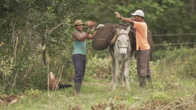 stockvideo's en b-roll-footage met twee landbouwarbeiders die een muilezel lossen - werkdier