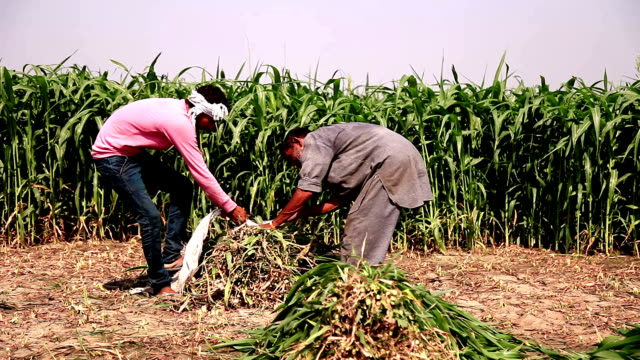 two farmer working in the green field - sorghum stock videos & royalty-free footage