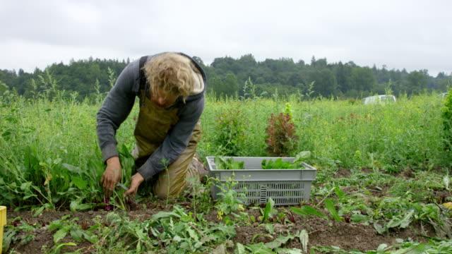 MS PAN two farmers kneeling in field on organic farm harvesting organic dandelion greens
