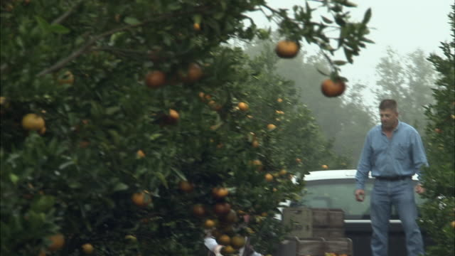 stockvideo's en b-roll-footage met ms pan two farmers loading oranges onto pick-up truck in citrus orchard, orlando, florida, usa - boomgaard