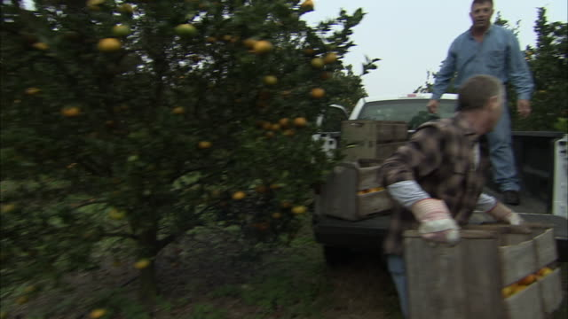 ms pan two farmers loading oranges onto pick-up truck in citrus orchard, orlando, florida, usa - citrus fruit stock videos and b-roll footage