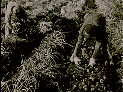 ms, b/w, two farmers picking potatoes in field - potato stock videos and b-roll footage