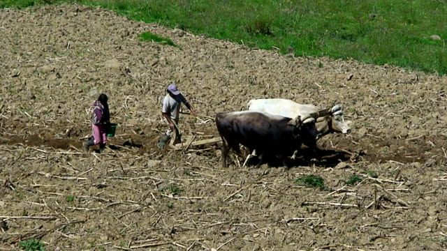 Two farmers plowing with oxen in Pilisurco, Ecuador