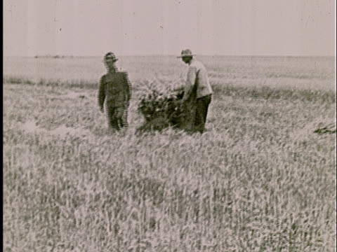 ws, b/w, two farmers stacking bundled wheat in field - anno 1925 video stock e b–roll