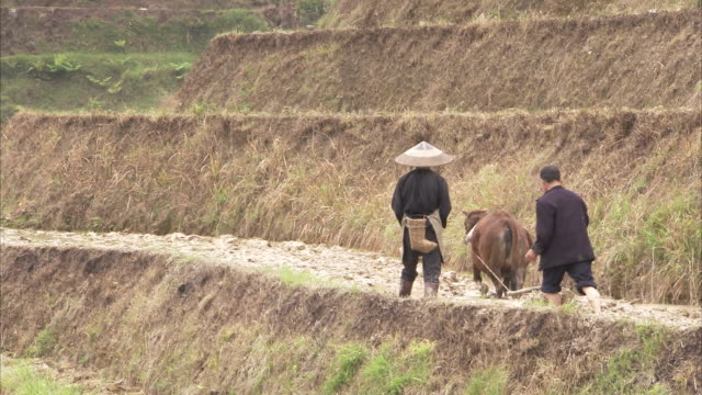 two farmers use an ox to plough a hillside paddy field. available in hd. - 働く動物点の映像素材/bロール